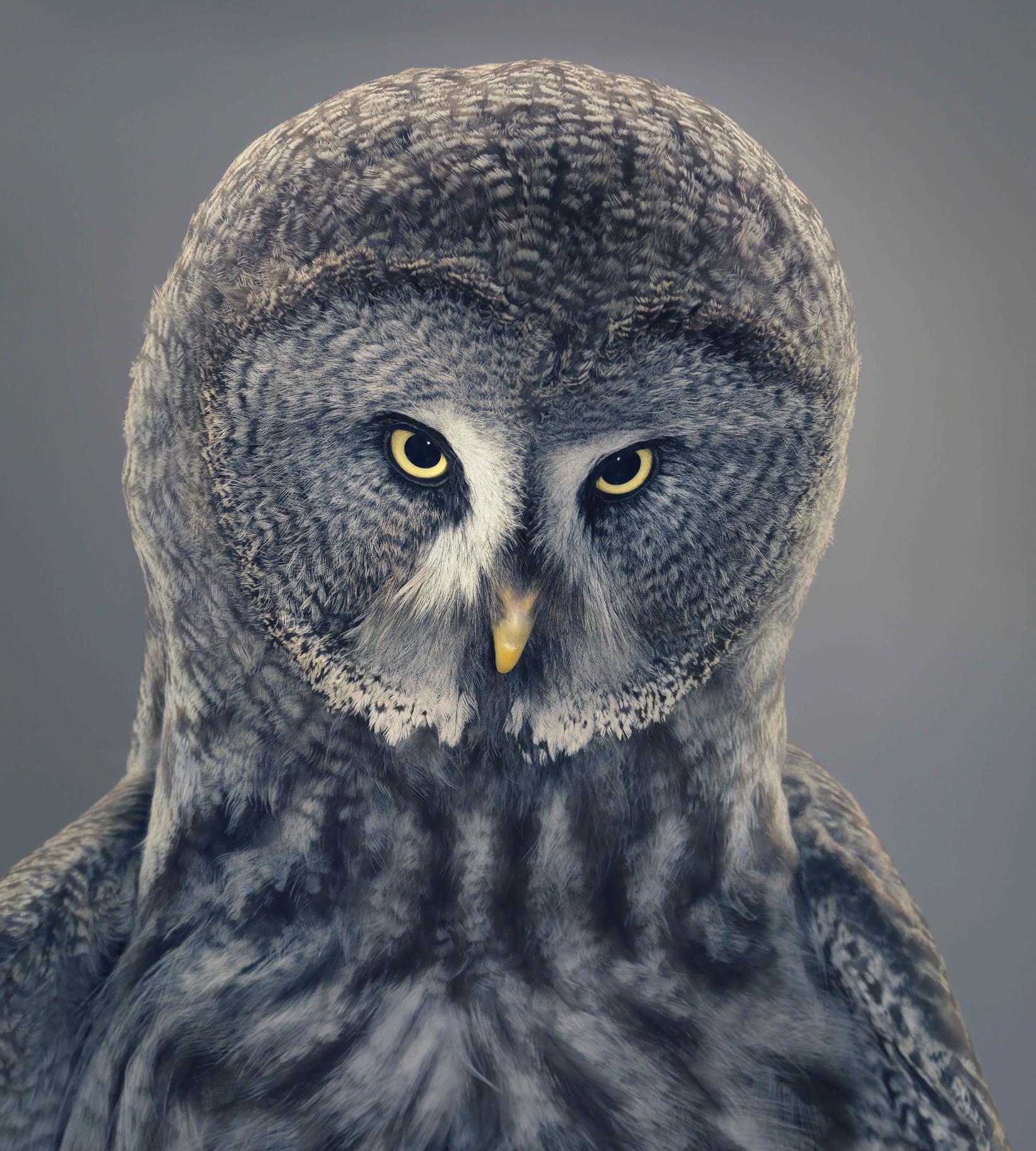 ©Tim Flach, Great Gray Owl - shp AP - Paris